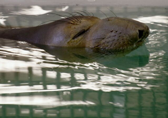 Filhote de elefante-marinho nada após ser resgatado em Pittsburgh (EUA)
