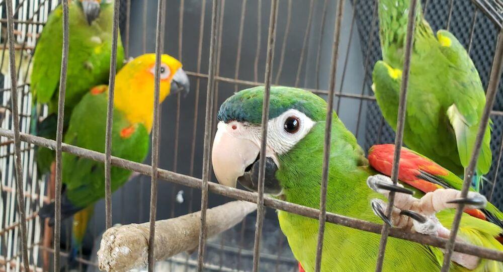 Pássaros apreendidos em operação da ICMBio contra tráfico de animais
