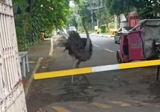Avestruz gigante foge e corre em liberdade nas Filipinas