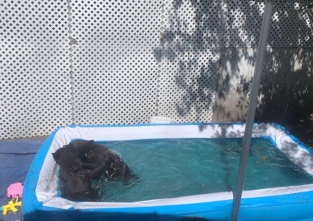 Ursos em piscina