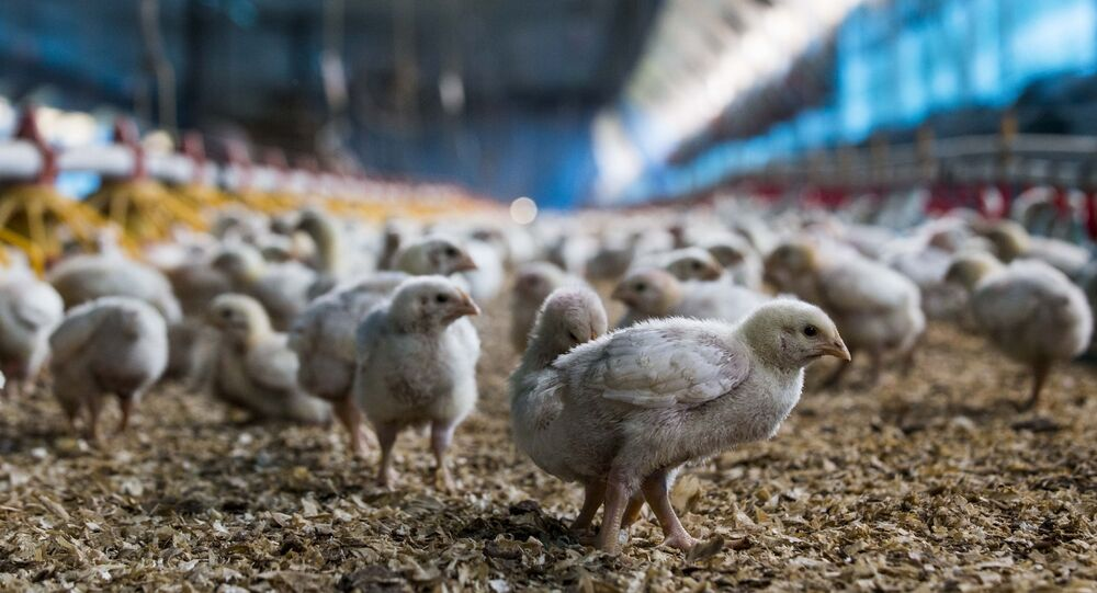 Criação de frango na cidade de Carambeí, no Paraná.