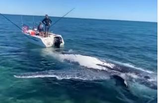 Grupo de tubarões não perde tempo e ataca carcaça de baleia-jubarte