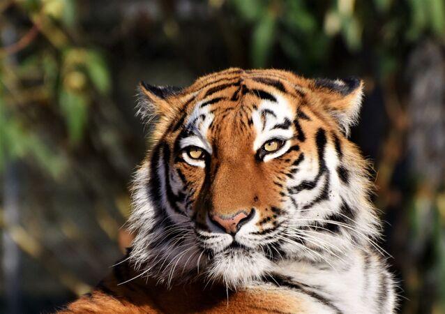 Tigre (imagem referencial)