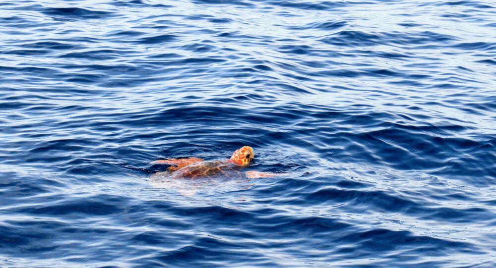 Tartaruga-marinha-comum (imagem referencial)