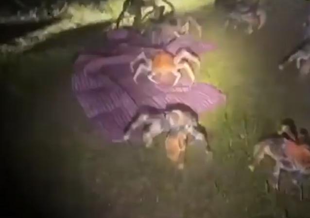 Invasão de caranguejos gigantes