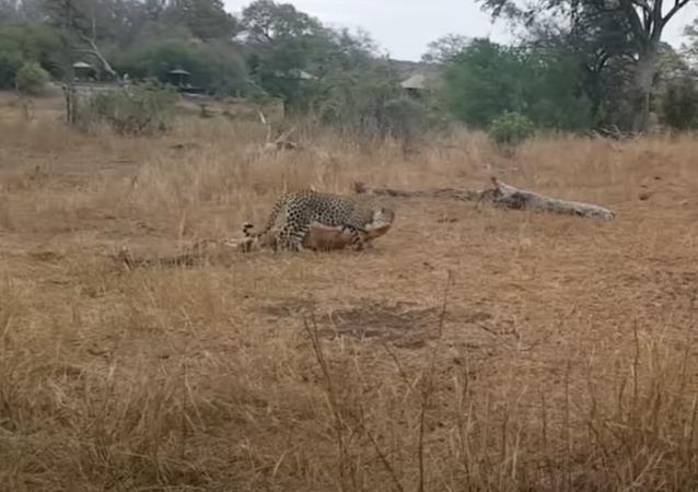 Leopardo disputa refeição com hiena e cão-selvagem na África do Sul