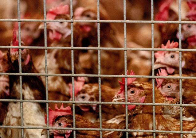 As galinhas do avicultor Theo Bos em Barneveld são fotografadas em ambiente fechado por conta da gripe aviária. 23 de outubro de 2020