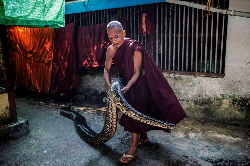 Monge budista segurando o píton birmanês resgatado em seu mosteiro que se tornou o santuário de cobras nos arredores de Yangon, Mianmar