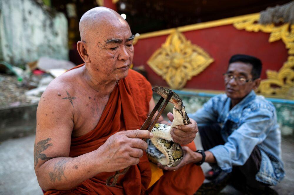 O monge budista alimenta o píton birmanês resgatado em seu mosteiro que se tornou o santuário de cobras nos arredores de Yangon, Mianmar