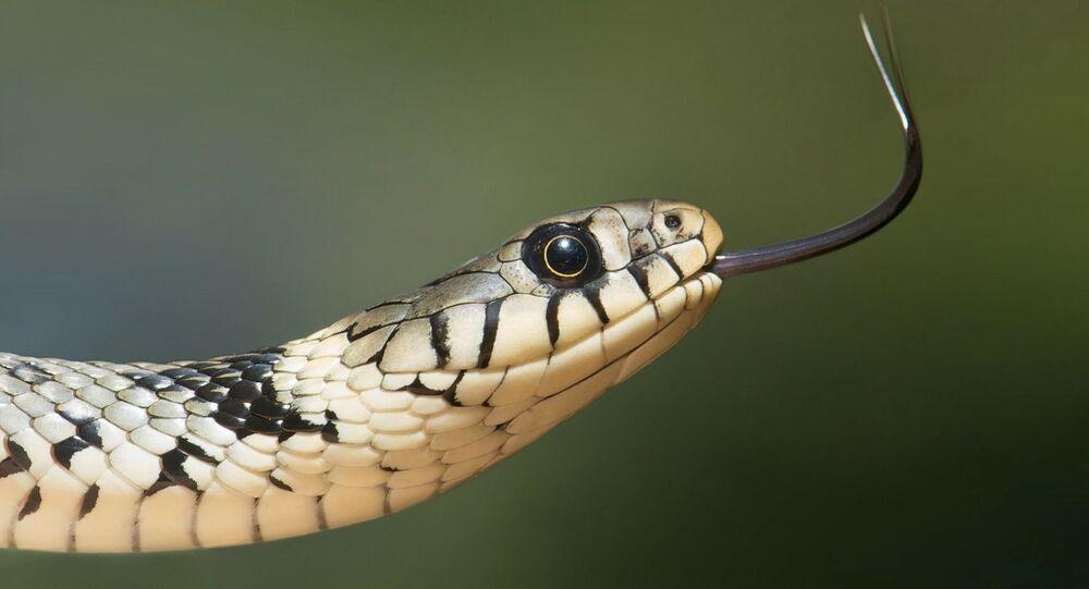 Cobra (imagem referencial)