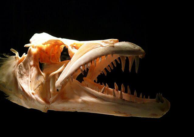 Mandíbula de um animal antigo (imagem referencial)