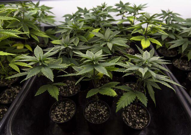 Plantação de cannabis da Abrace Esperança, única associação no país com autorização judicial para o cultivo e extração do óleo a base de CBD (canabidiol)