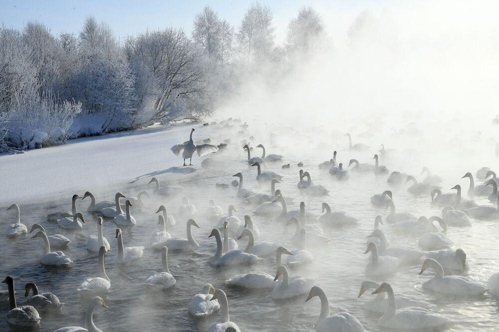 Cisnes-bravos no lago Lebedinoe, na república de Altai, Rússia