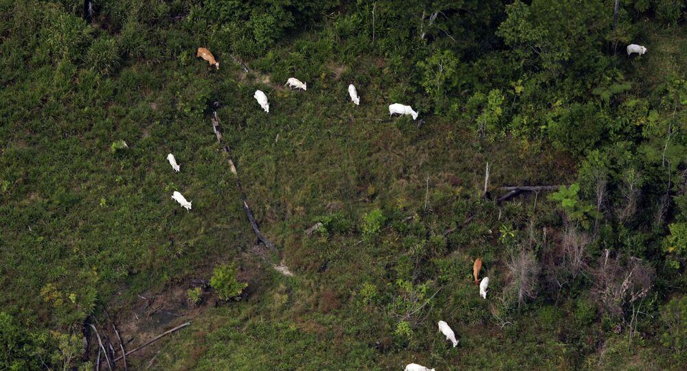 Gado invade área do Parque Nacional da Serra do Pardo, em São Félix do Xingu (PA), município que lidera ranking de emissões de gases de efeito estufa no Brasil (arquivo)