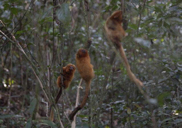 Micos-leões-dourados são vistos em área de Mata Atlântica em Silva Jardim, no Rio de Janeiro