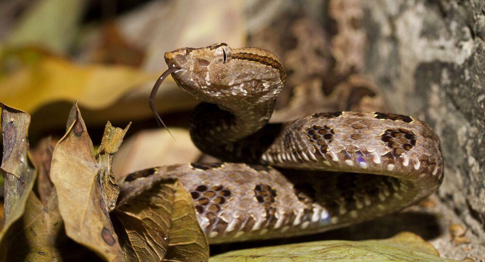 Cobra Trimeresurus mucrosquamatus ou Taiwan habu