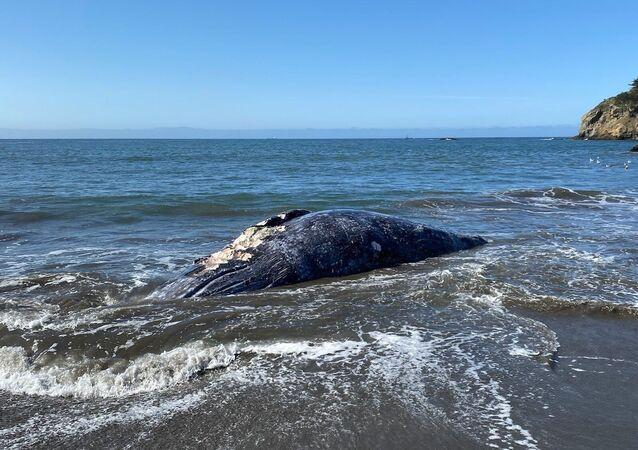 Corpo de baleia-cinzenta arrastado sem vida até à costa de São Francisco, na Califórnia
