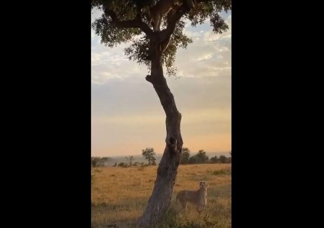 Leoa observa parceira se aproximando de leopardo no topo de árvore
