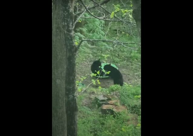 Filhotes de urso-negro fazem a festa com balanço