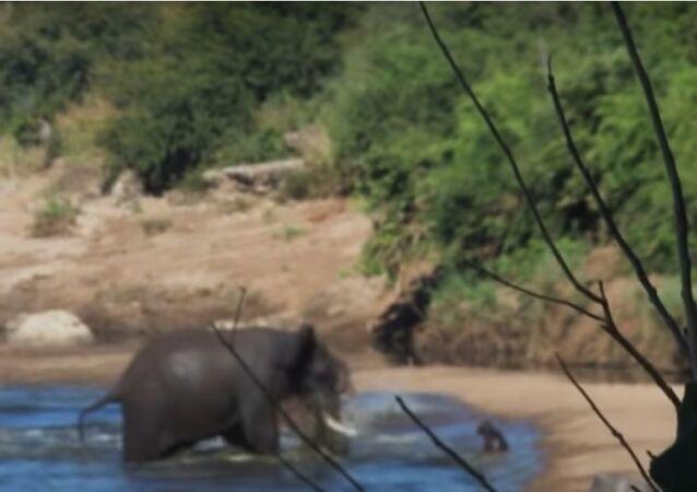 Elefante furioso indo contra filhote de hipopótamo