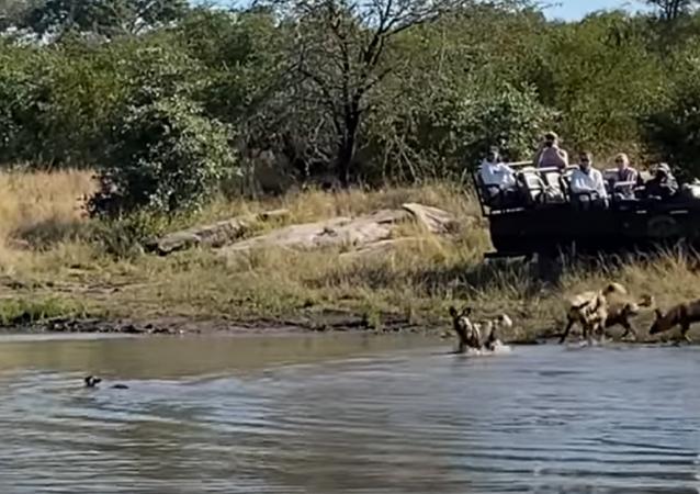 Batalha entre cães selvagens, impala e hipopótamo
