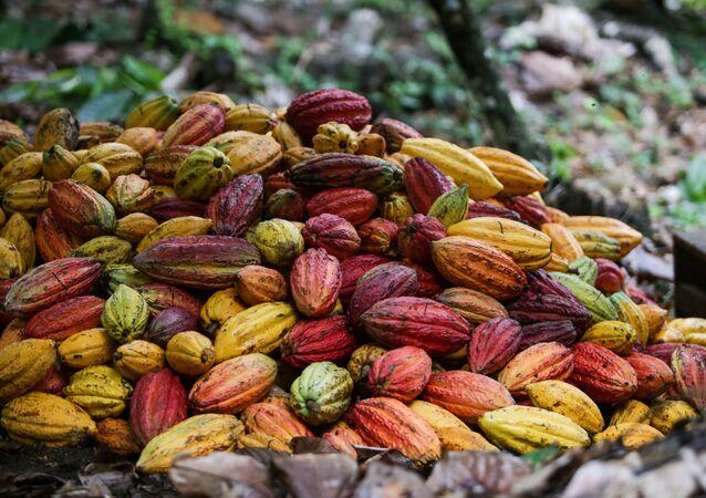 Produção de cacau em Ilhéus, na Bahia, baseada em agricultura sustentável