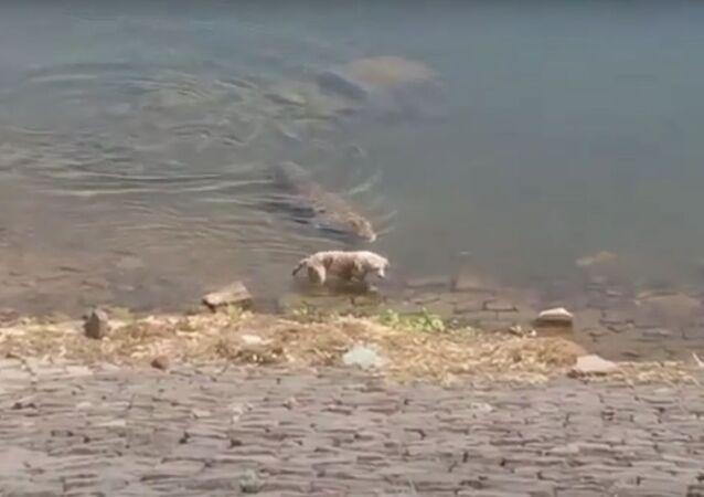 Crocodilo caça cachorro desatento