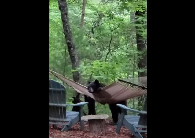 Ursos brincando com rede