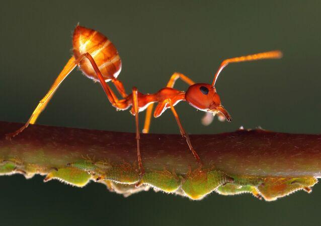 Formiga amarela (imagem referencial)