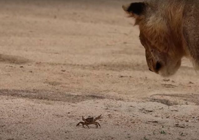 Leões curiosos se aproximam de caranguejo