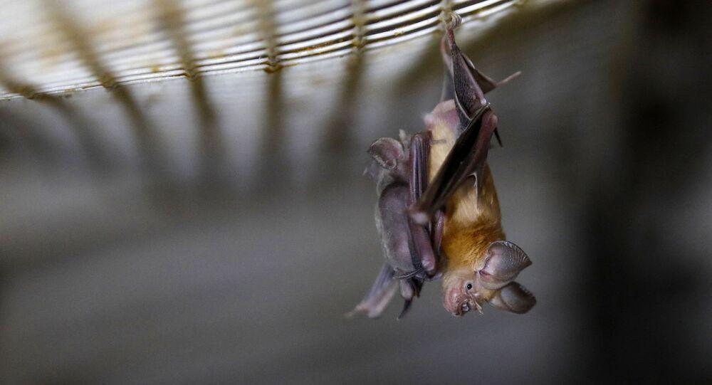 Morcego-ferradura (imagem referencial)