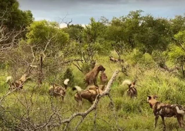Cães selvagens lutam contra hienas