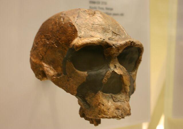 Crânio de homo erectus (imagem referencial)