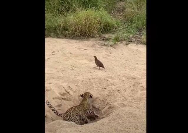 Filhote de leopardo tenta caçar faisão