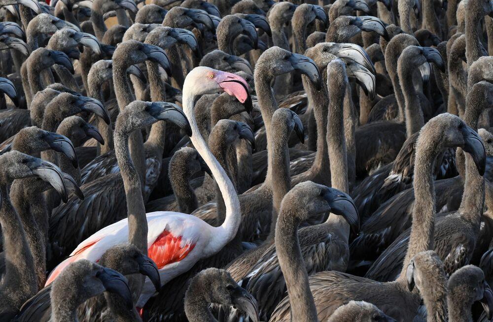 Flamingo adulto entre grupo de filhotes em Aigues-Mortes, na França, 3 de agosto de 2021