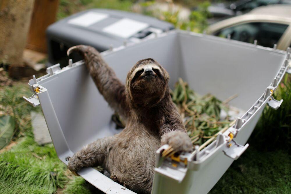 Preguiça resgatada espera para ser devolvida à natureza em santuário para preguiças em San Antonio, na Venezuela, 30 de julho de 2021
