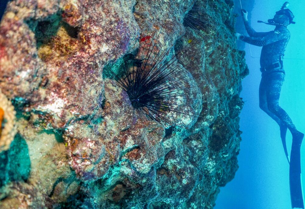 Um mergulhador nada a cerca de 17 metros de profundidade ao largo da cidade de Qalamun, no norte do Líbano, passando por um ouriço-do-mar tipicamente nativo das águas do Índico e Pacífico e que atualmente está invadindo o Mediterrâneo oriental, 11 de agosto de 2021