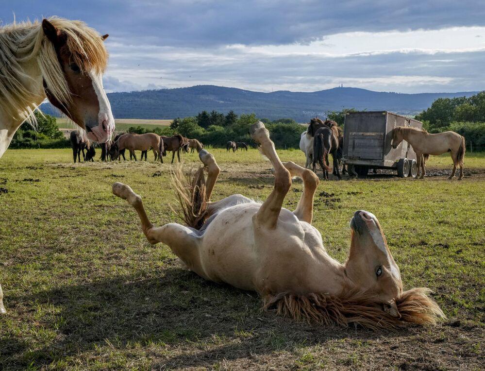 Cavalos islandeses brincam em um prado perto de Frankfurt, na Alemanha, 9 de agosto de 2021