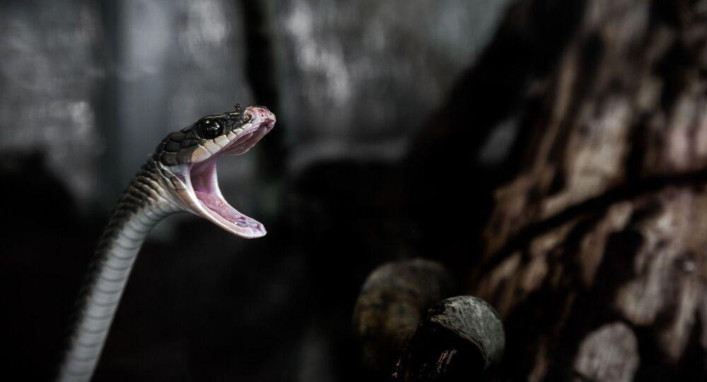 Cobra vingativa