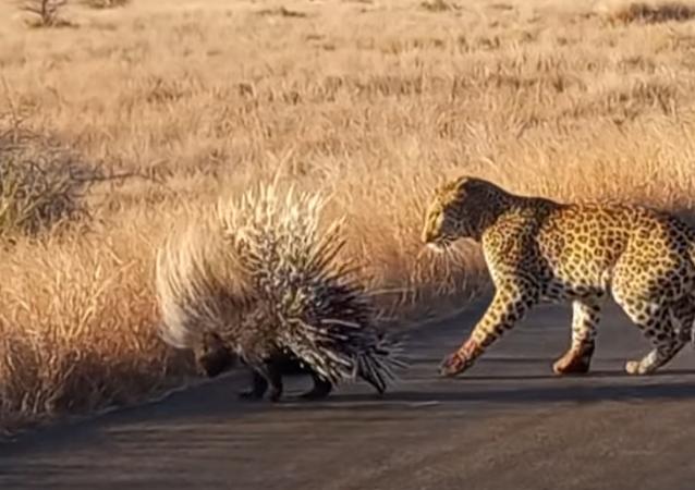 Duelo entre leopardo e porco-espinho