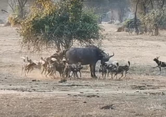 Cães-selvagens atacam búfalo