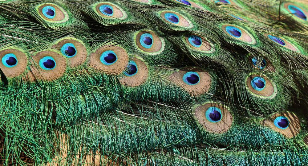 Plumas de pavão (imagem referencial)