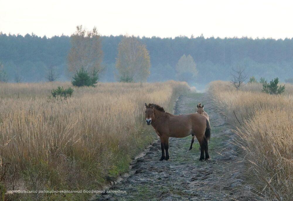 Cavalos selvagens na zona de exclusão de Chernobyl, que foi estabelecida após o acidente nuclear no reator número quatro da usina nuclear em abril de 1986