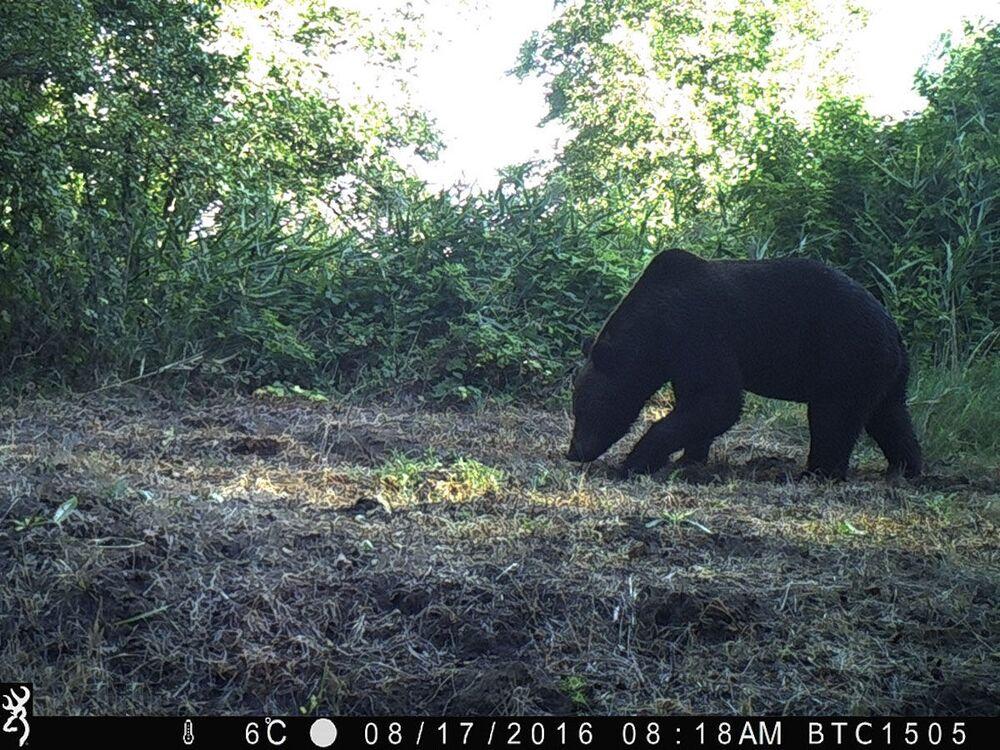 Urso-pardo na zona de exclusão de Chernobyl