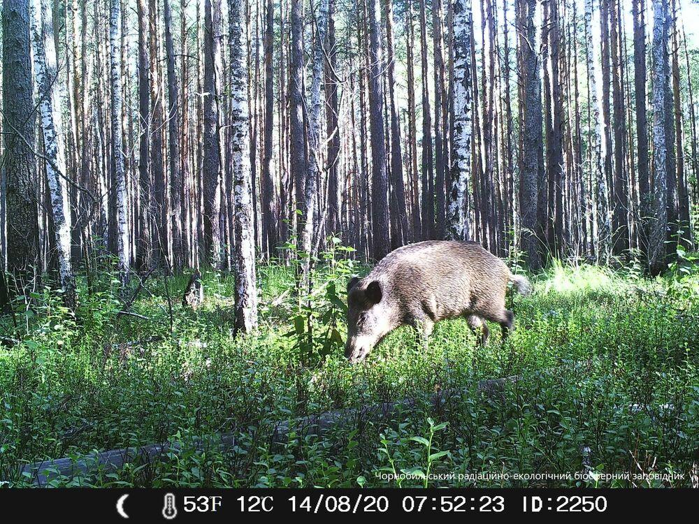 Javali selvagem na zona de exclusão de Chernobyl