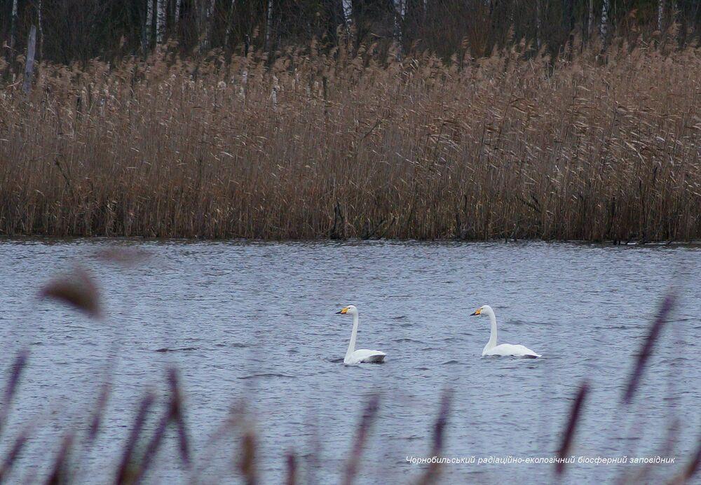Cisnes na zona de exclusão de Chernobyl, onde o nível de radiação ainda permanece alto
