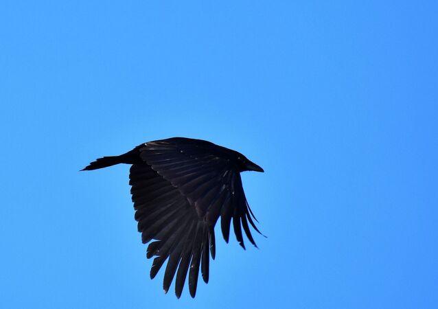 Corvo voando (imagem referencial)