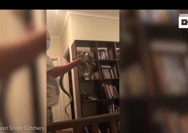 Píton 'culta' se esconde em estante de livros, mas é descoberta e expulsa de casa na Austrália