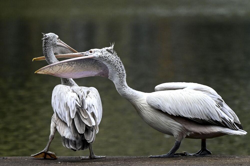 Pelicanos de bico pintado nas margens de um lago artificial em Colombo, no Sri Lanka, 28 de setembro de 2021
