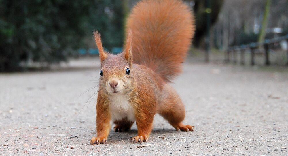 Esquilo-vermelho (imagem referencial)